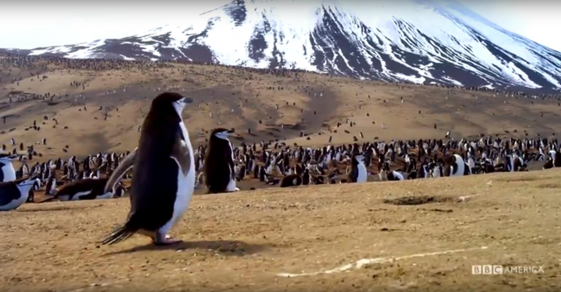 Zavodovski-pingvini-2