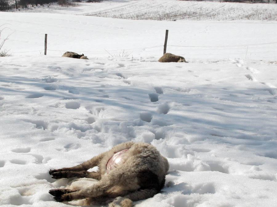 Sisak, 220212.  Vukovi su u selu Sasu, opcina Sunja, napali stado ovaca zatvoreno u stalu usred sela. Zaklano je sest ovaca, a jos tri su nasmrt izranjavane. To je prvi put od 1956 godine da su se vukovi pojavili tako blizu Sasu, rekao nam je vlasnik stada Stevo Vukolic, bojeci se za ostatat stoke i pustanja ovaca i svinja na otvoreno polje, sto ce morati uciniti s kopnjenjem snijega.   Na slici: ubijene ovce.  Foto: Mate Piskor / Cropix