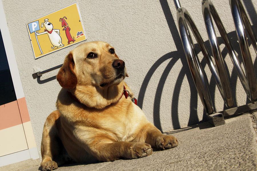 Pula,281111.Privezan pas ljubimac strpljivio ceka svojeg vlasnika koji kupuje u DM-u u Puli. Na fotografiji pas lezi na tablom oznacenom mjestu za ljubimce kupaca ispred DM-a. Foto: Srecko Niketic / CROPIX