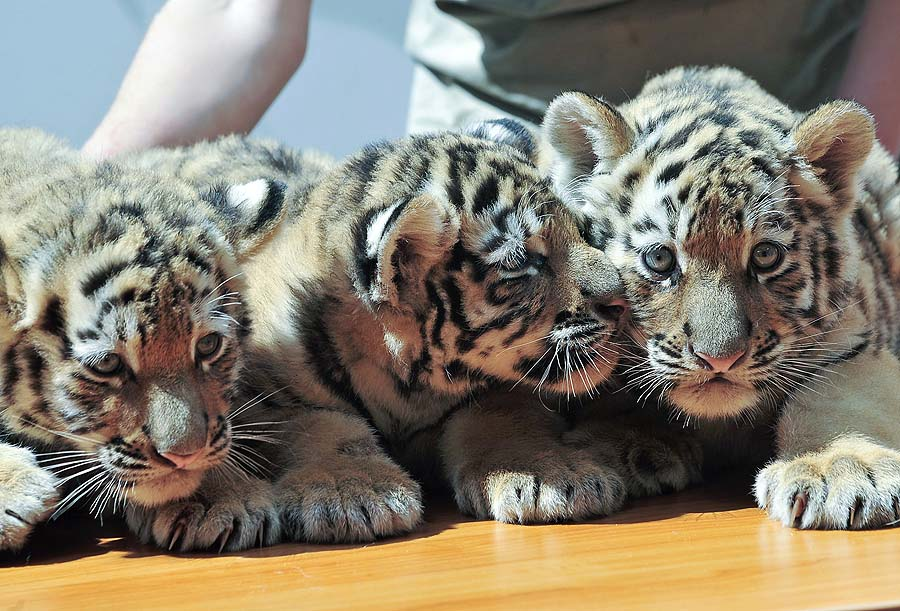 Newborn Siberian tigers Virgil, Thrax and Manu are presented at the Budapest Zoo and Botanic Garden in the Hungarian capital on July 4, 2011. The eight-week-old tigers were presented to the press for the first time with their health checkup and ID chips implanted by the chief doctor of the zoo.  AFP PHOTO / ATTILA KISBENEDEK