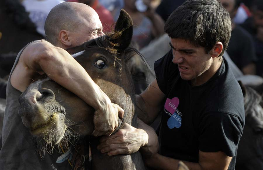 """Two """"aloitadores"""" (fighters) struggle with a wild horse during the 400-year-old horse festival called """"Rapa das bestas"""" (Shearing of the Beasts) in Sabucedo, some 40 kms from Santiago de Compostela, northwestern Spain, on July 2, 2011. Hundreds of wild horses were rounded up from the mountains in the eve day of the """"Rapa das bestas"""" festival to be trimmed and marked. AFP PHOTO / MIGUEL RIOPA"""