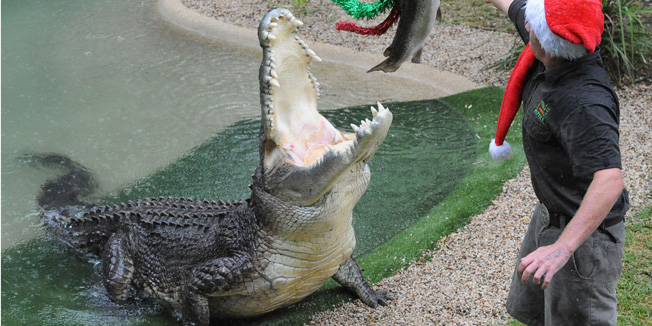 (FILES)  photo taken on December 22, 2011 shows reptile keeper Billy Collett offering a 5kg salmon adorned in Christmas decorations to 'Elvis' the five-metre-long saltwater crocodile at the Australian Reptile Park near Sydney. On December 28 'Elvis', who has already killed two potential mates, attacked staff with a lawn mower inside his enclosure. A rescue mission was mounted a few hours later to retrieve the mower, which the huge crocodile had dragged underwater.  AFP PHOTO / Torsten BLACKWOOD