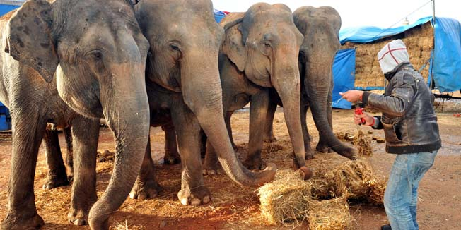 """Vicky, Diana, Pira and Belinda, the four elephants held 'hostage' in Morocco, are fed on a no man's land close to Casablanca's Great Mosque, following European Union travel restrictions that prevent wild animals coming from Africa to enter the EU. But having spent more than six months in Morocco """"under European rules they have technically acquired the 'nationality' of the country where they are,"""" the EU told AFP on January 27. Morocco, however, has no regulations on animal health compatible with EU rules and suffers moreover from foot and mouth disease. The elephants left France on tour in 2005.   AFP PHOTO / ABDELHAK SENNA"""