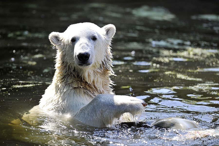 (FILES) - Picture taken on July 27, 2009 shows Knut, the world's most famous polar bear, playing with an unidentified object swims in his enclosure at the zoo in Berlin .  Knut has died on March 19, 2011 according to the zoo. The cause of death was not immediately known.       AFP PHOTO /  DAVID GANNON