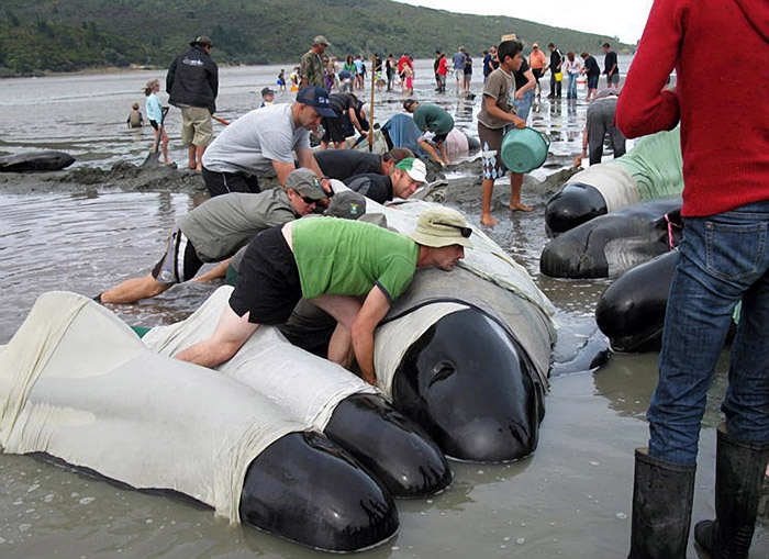 A handout photo released on December 28, 2009 by Project Jonah shows volunteers trying to refloat stranded pilot whales at Colville Bay on the Coromandel Peninsula on December 28, 2009.  Twenty-one pilot whales died and 42 were successfully refloated after stranding at the bay while another 105 whales died after beaching themselves on Farewell Spit, at the top of the South Island on December 26.  NO ARCHIVING RESTRICTED TO EDITORIAL USE  AFP PHOTO / PROJECT JONAH / Alex SIMPSON
