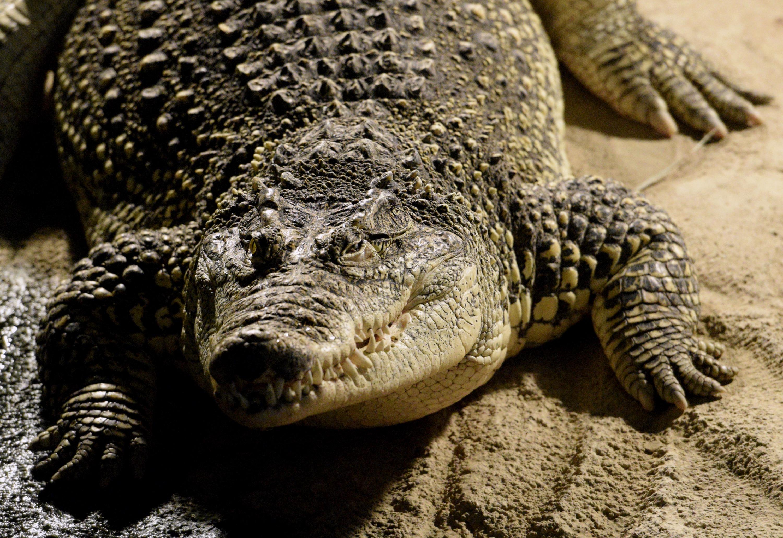Na fotografiji: krokodil