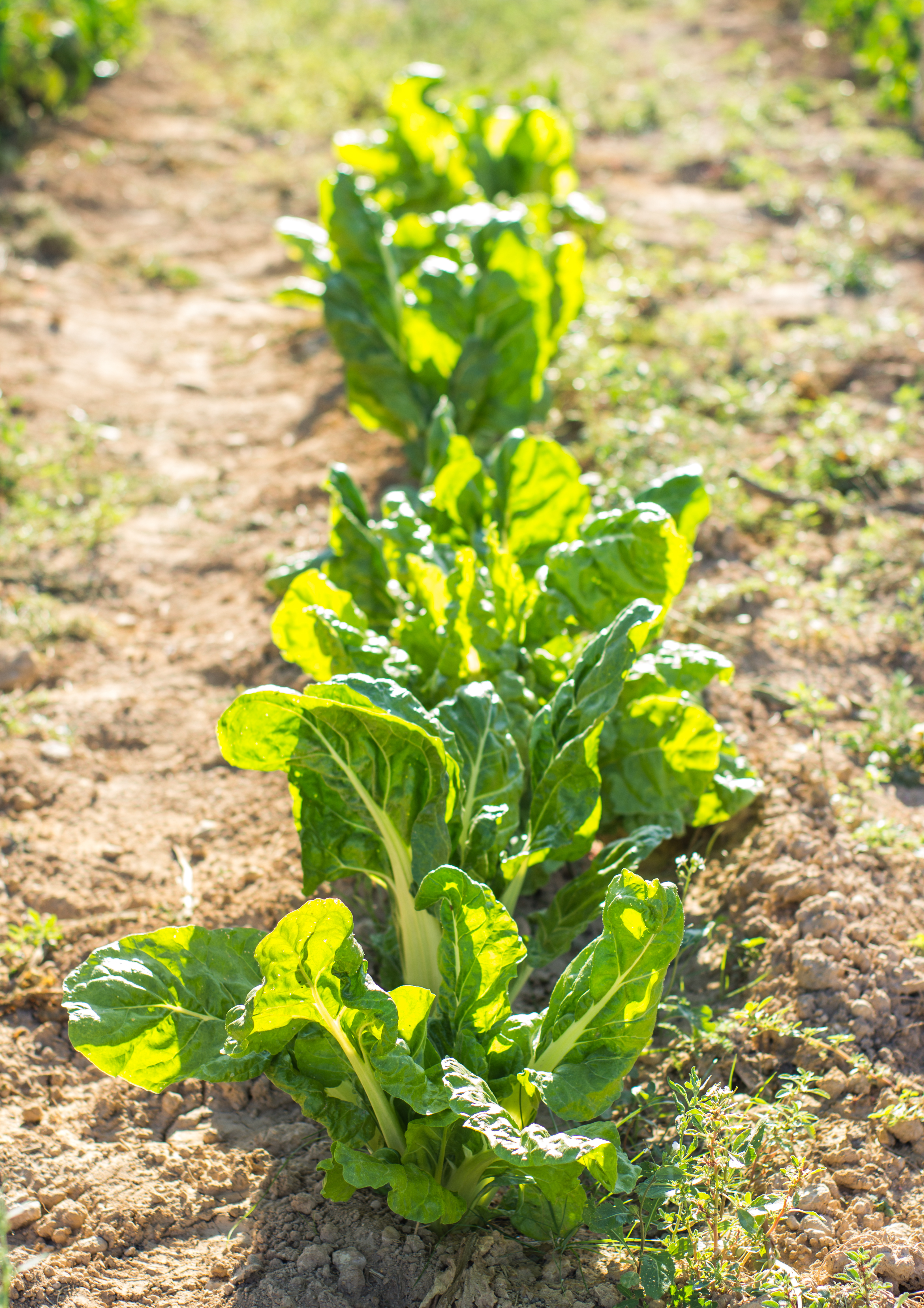 chard planted
