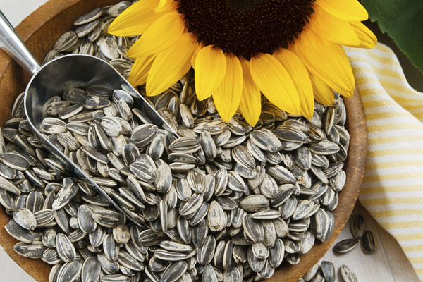 Nutritious sunflower seeds fill a wood bowl, accented with a metal scoop and yellow sunflower