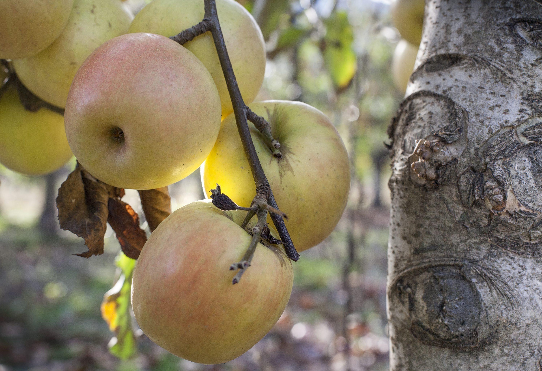 Vrgorac, Jonagold jabuke