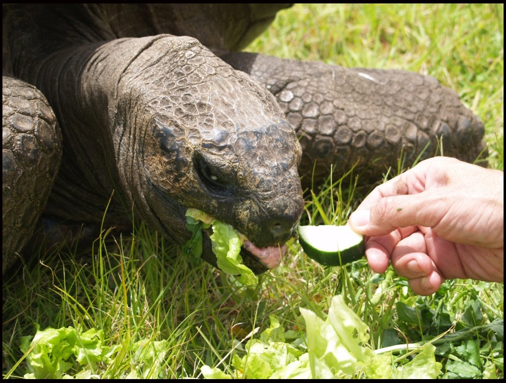The world's oldest living animal has been given a new lease of life after a vet put him on a healthy diet - at the age of 183.  It was feared Jonathan the giant tortoise was on his last legs after his health seriously declined due to losing his eyesight and sense of smell.  But now the famous resident on the British outpost of St Helena Island has started coming out of his shell again thanks to vet Dr Joe Hollins., Image: 270835768, License: Rights-managed, Restrictions: , Model Release: no, Credit line: Profimedia, BNPS