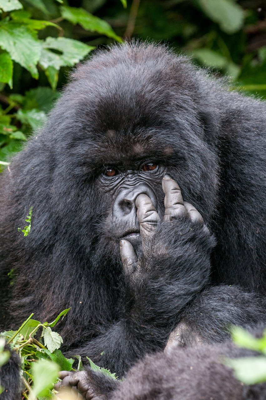 Nepristojni gorila iz Tanzanije (Oli Dreike)