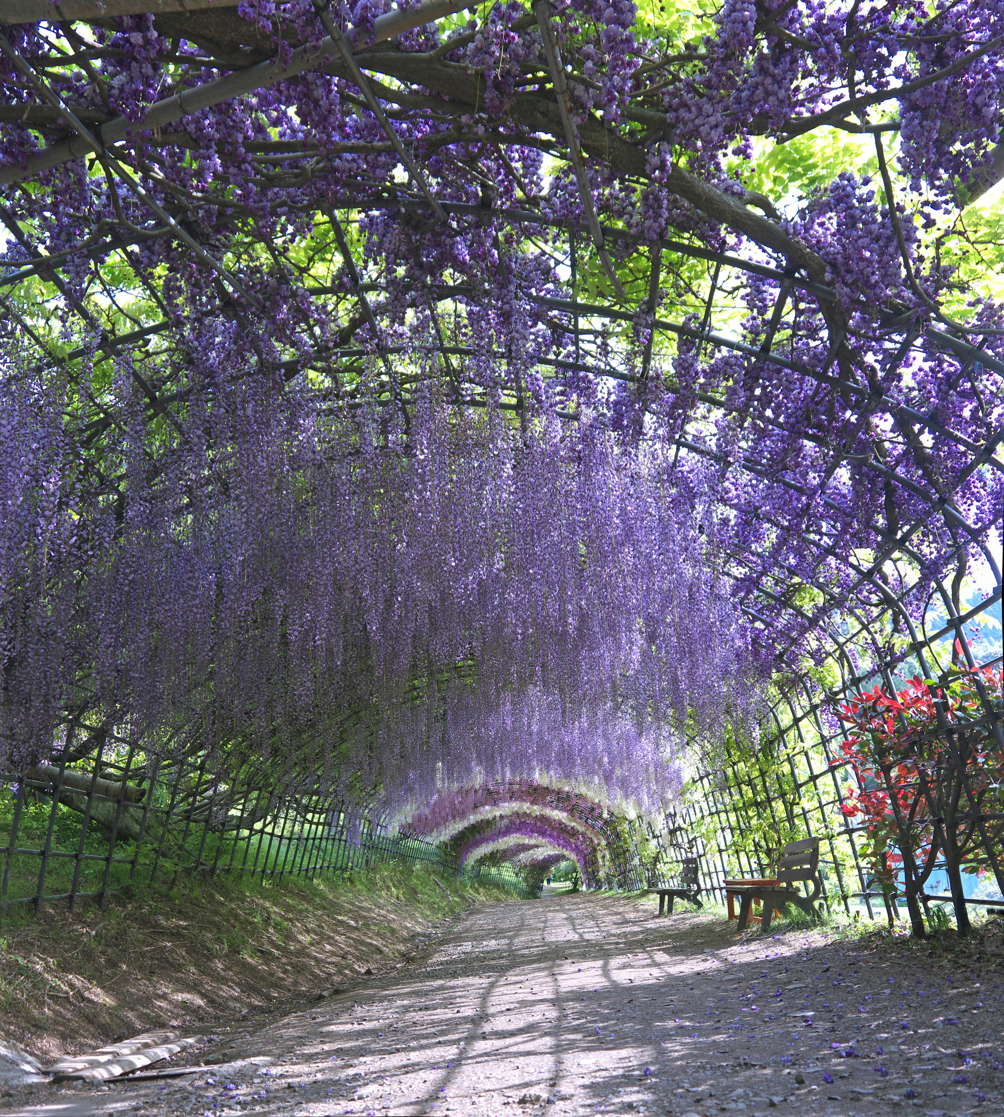 Wisteria tunnel, purple flowers, japanese garden, Kyushu, Japan