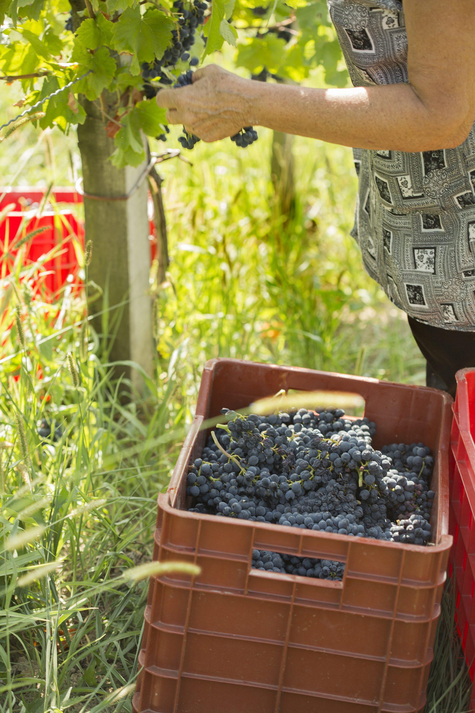 Jastrebarsko, 310817. Vinarija Tomac na vinskoj cesti na Pljesivici u neposrednoj blizini Jastrebarskog trenutno ima ovogodisnju berbu grozdja za proizvodnju crnog pinota. Obitelj Tomac; vlasnik Zvonimir, sin Tomislav i supruga mu Martina s djecom Martinom i Petrom vec 100 godina proizvodi i zivi od vina. Najpoznatiji su njihovi pjenusci Classic, Diplomat, Tom, Millenium i Rose. Osim pjenusaca proizvode i Grasevinu, Rajnski rizling, Chardonnay, Crni pinot i dr. Foto: Berislava Picek/ CROPIX