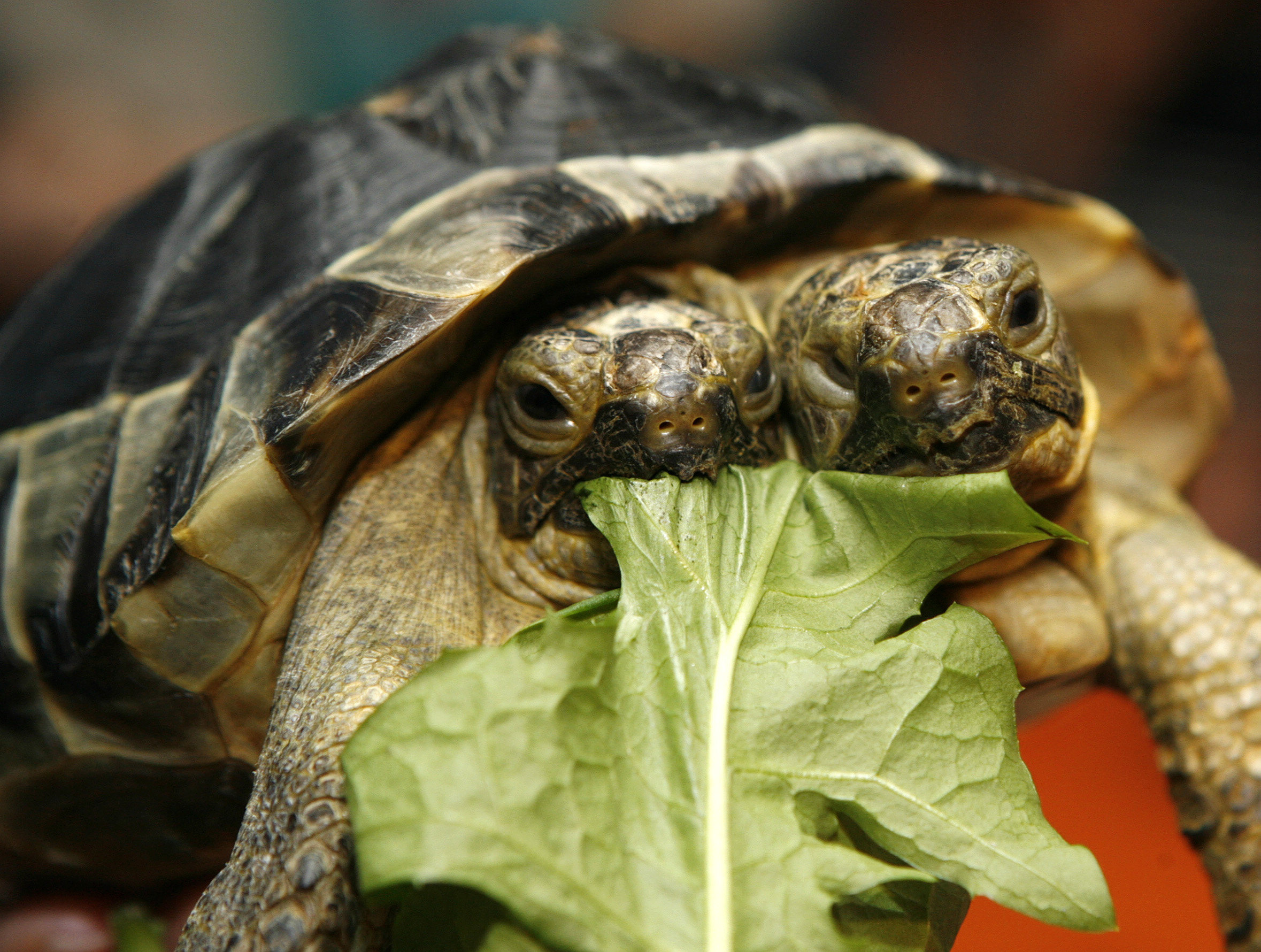 A two-headed Greek turtle named Janus eats some salad leaves at the Natural History Museum in Geneva September 5, 2007. Janus, named after the Roman god with two heads, officially celebrated its 10th birthday on Wednesday.   REUTERS/Denis Balibouse   (SWITZERLAND) - BM2DWBWKMIAA