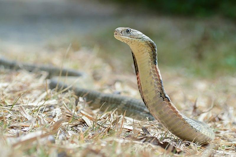 Kraljevska kobra, ilustracija