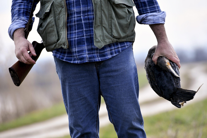 Jastrebarsko, 230118. Reportaza o kormoranima koji obitavaju na ribnjacima u sklopu ornitoloskog rezervata Crna Mlaka. Na fotografiji: odstrijeljen kormoran. Foto: Boris Kovacev / CROPIX