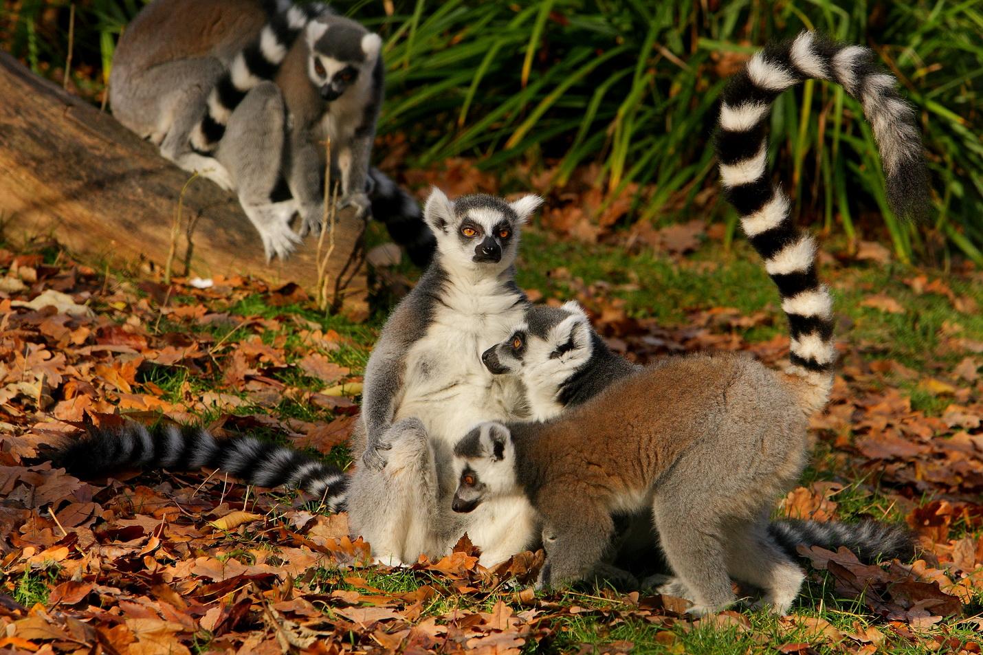Prstenastorepi lemur 2018
