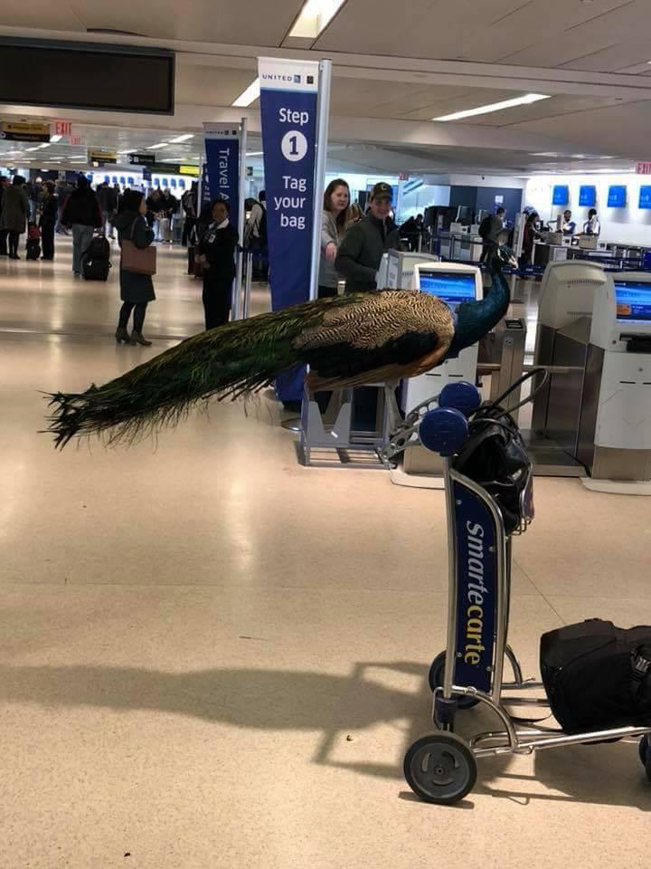 Paun Dexter na aerodromu