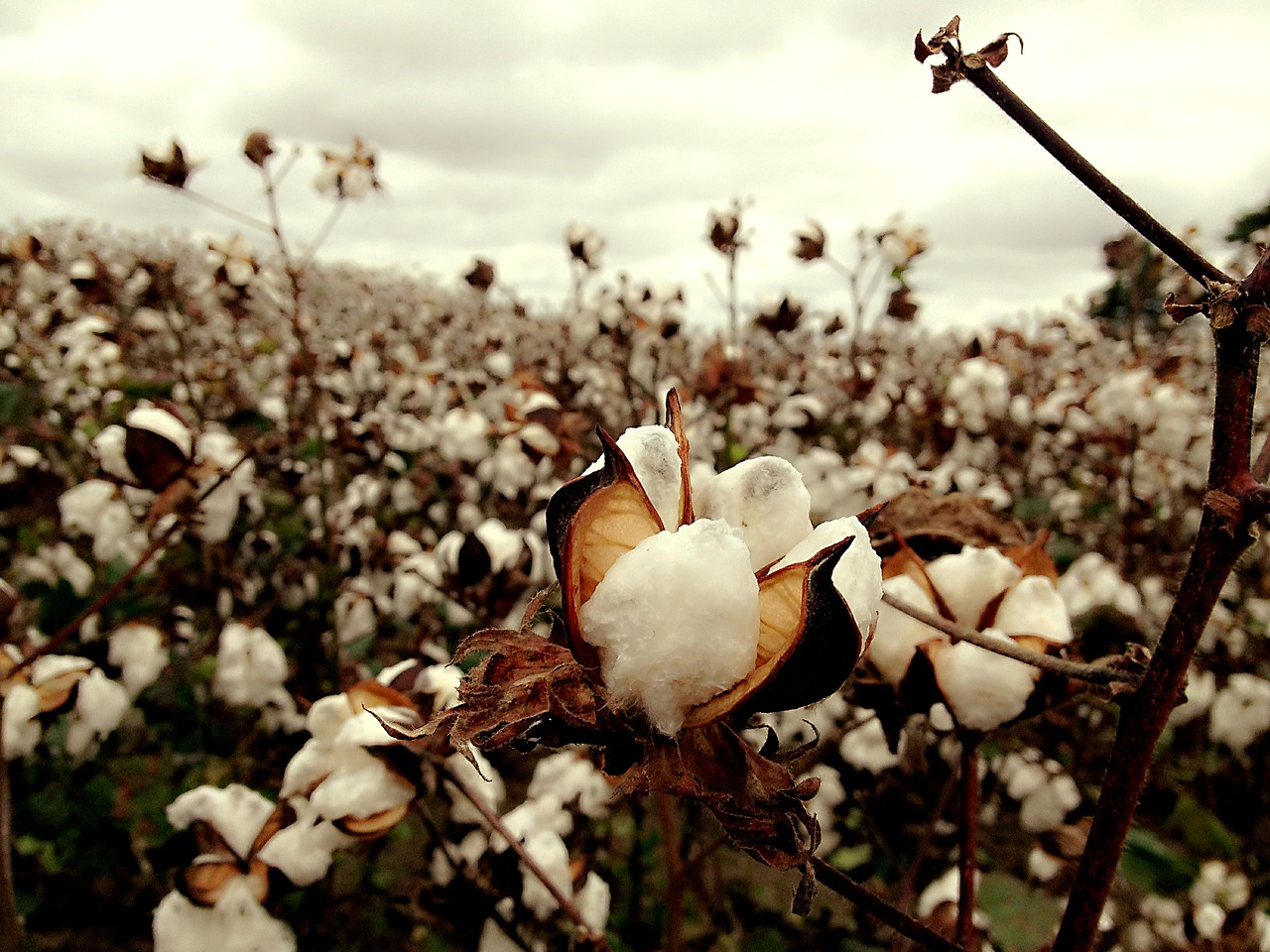 cotton-2047302_1280