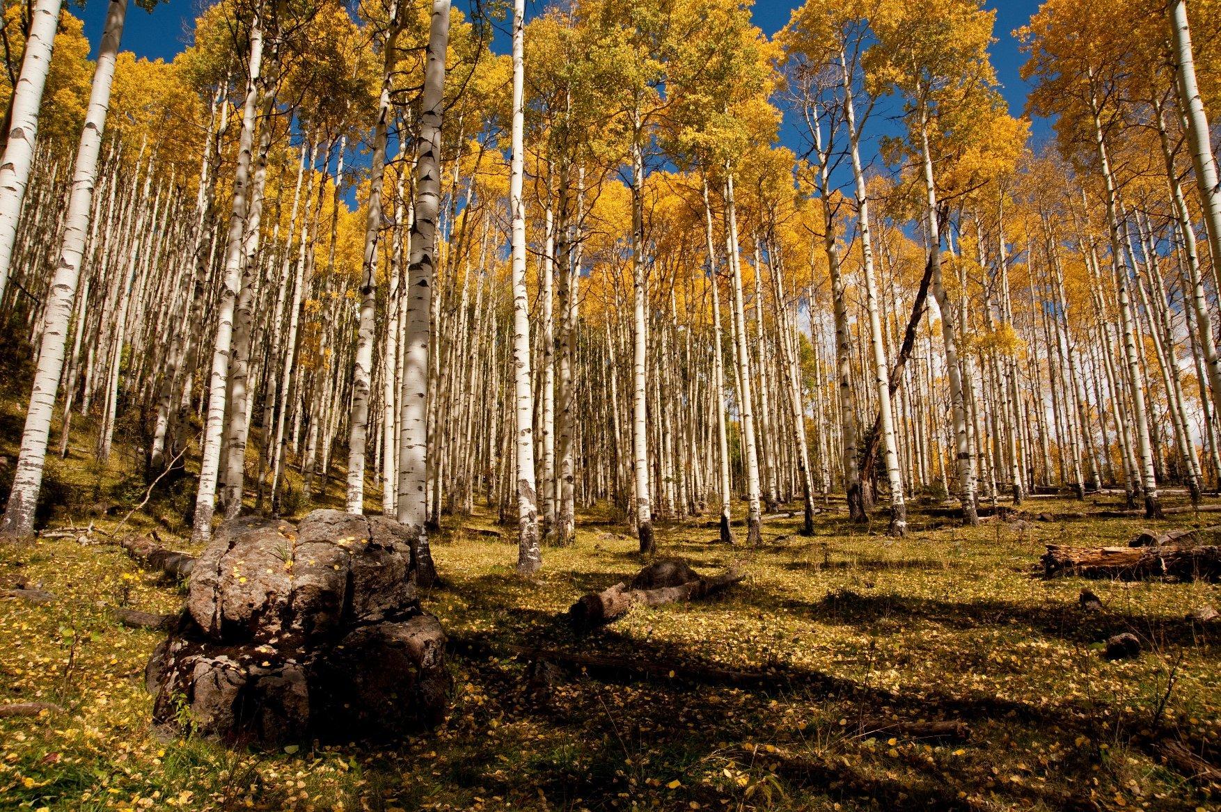 Šuma Pando, Utah