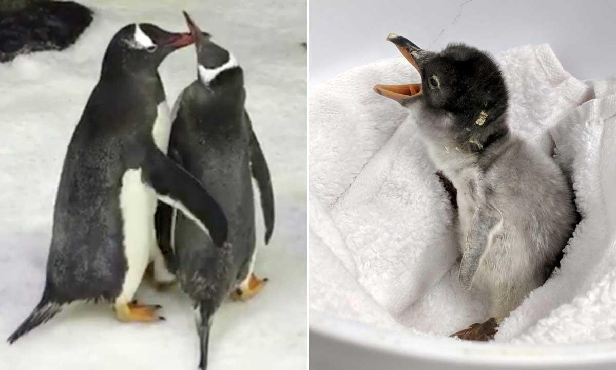 gay-pingvini-beba