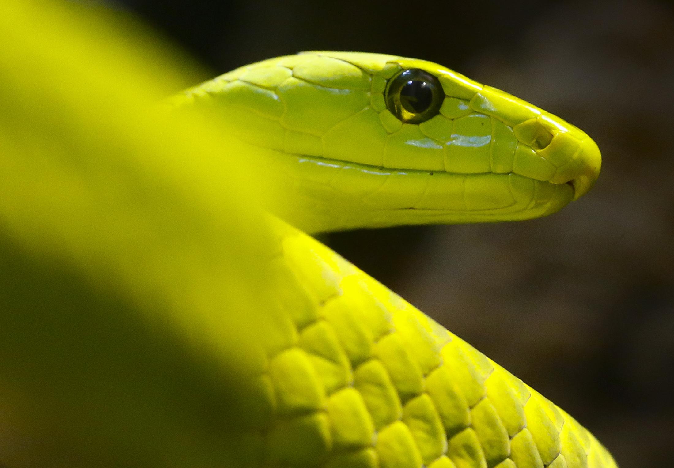 Zelena mamba, ilustracija