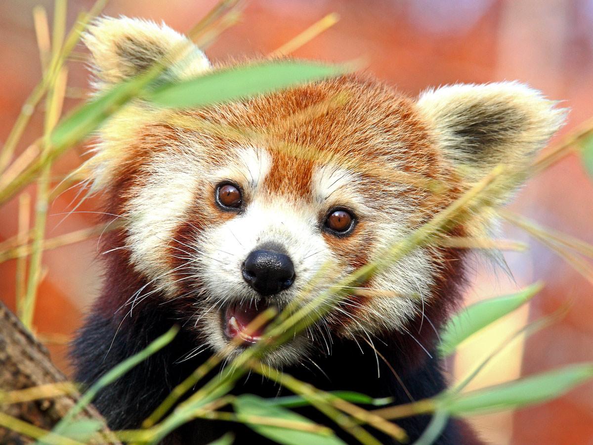 Crvena panda 2