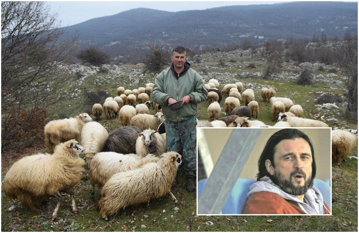 ovce kolaz