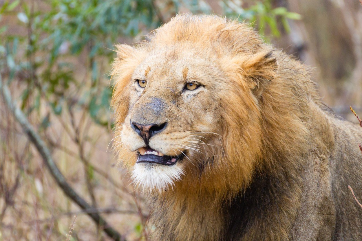 Lav iz Nacionalnog parka Kruger u Južnoj Africi