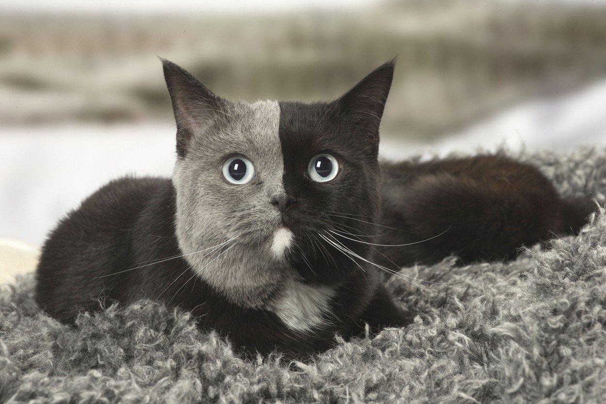 Britanska kratkodlaka mačka s dvobojnim licem