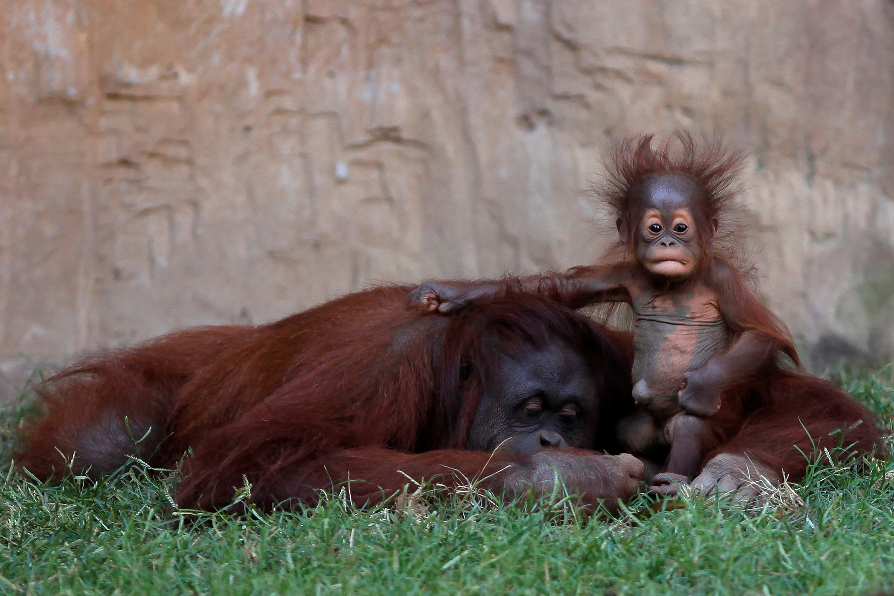A five-month-old baby female Bornean orangutan (Pongo pygmaeus) sits on her mother Sulli at Bioparc Fuengirola in Fuengirola, near Malaga, southern Spain, September 12, 2016.  REUTERS/Jon Nazca - RTSNFLD