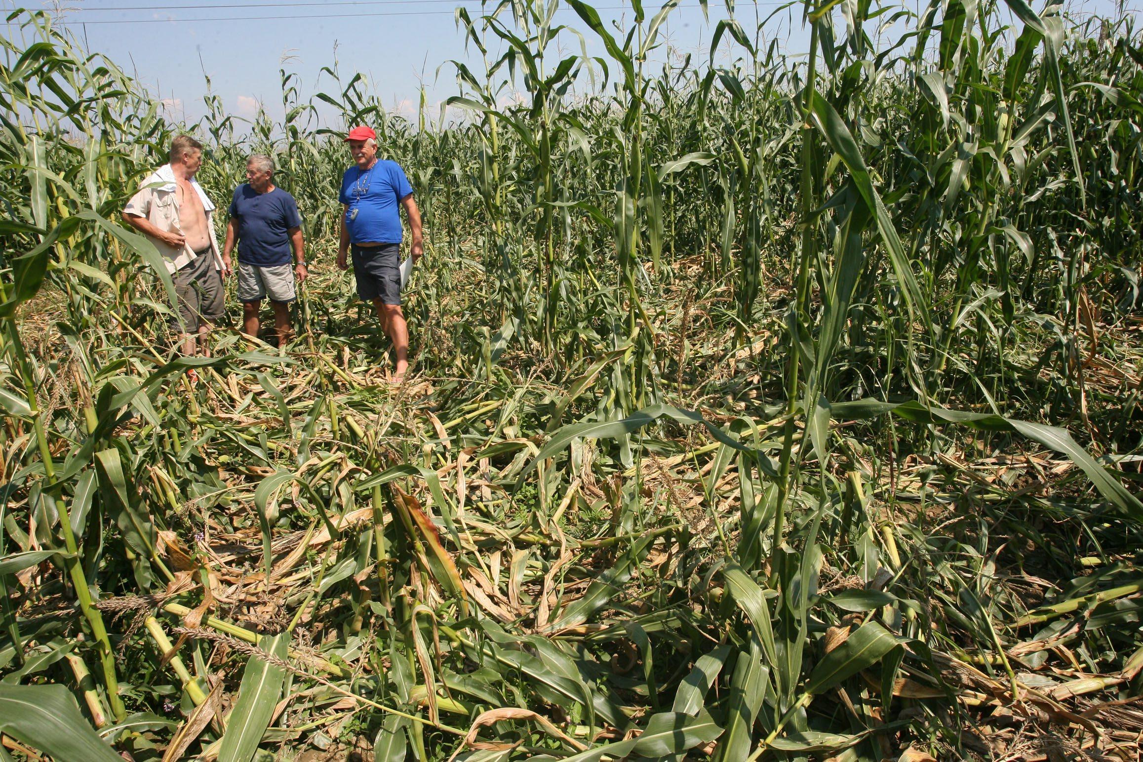 Sisak, 030808 Divlje svinje unistile oko 2 hektara polja zasijanog kukuruzom, ali kako kaze Mijo Dolenec najvise osteceni poljoprivrednik ( u sredini ) to nije konacna steta.S njim se slazu i Hrvoje Grabic i Ivica Posavec. Foto: Miro Arbutina / Cropix