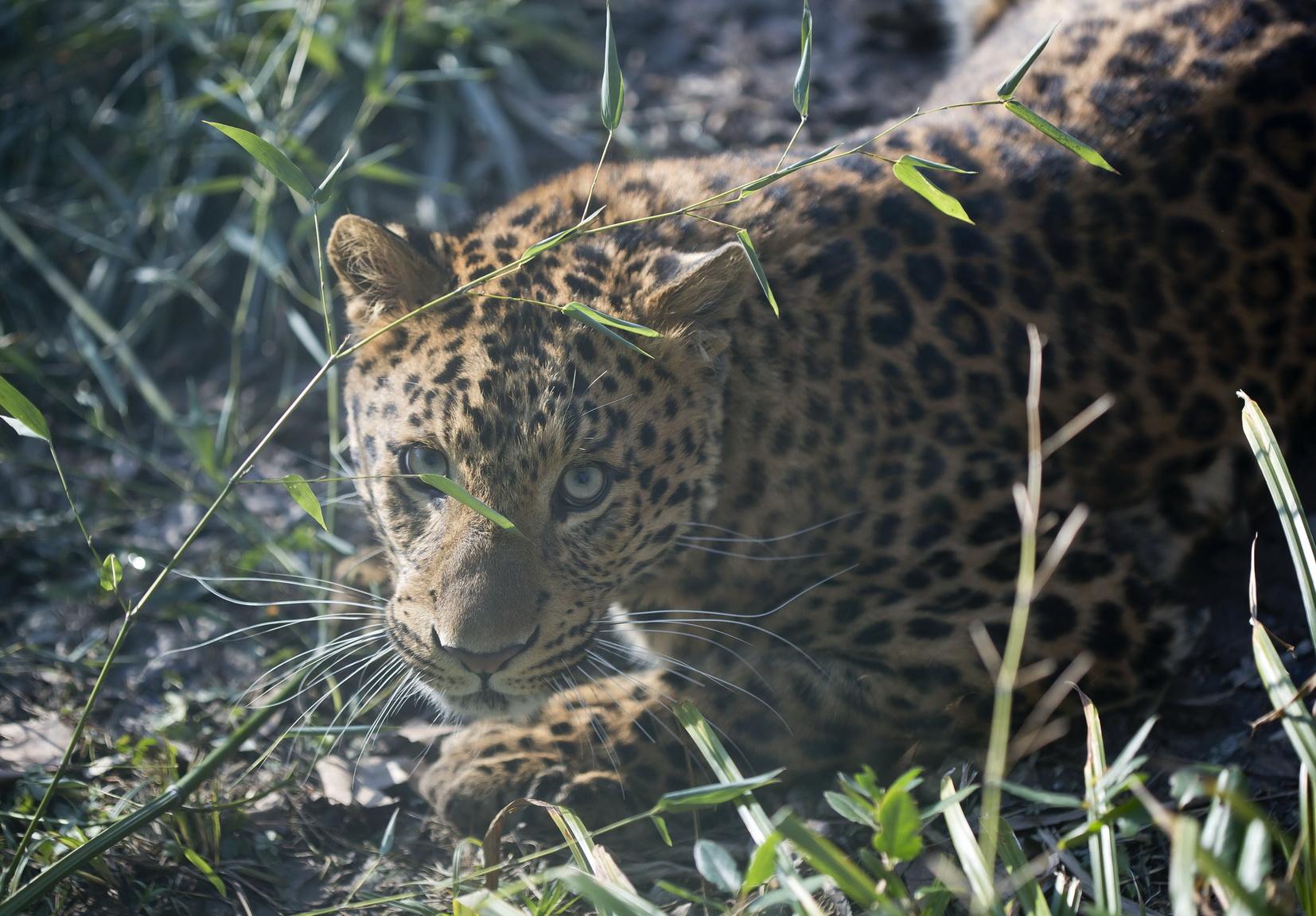 Kineski leopard_1