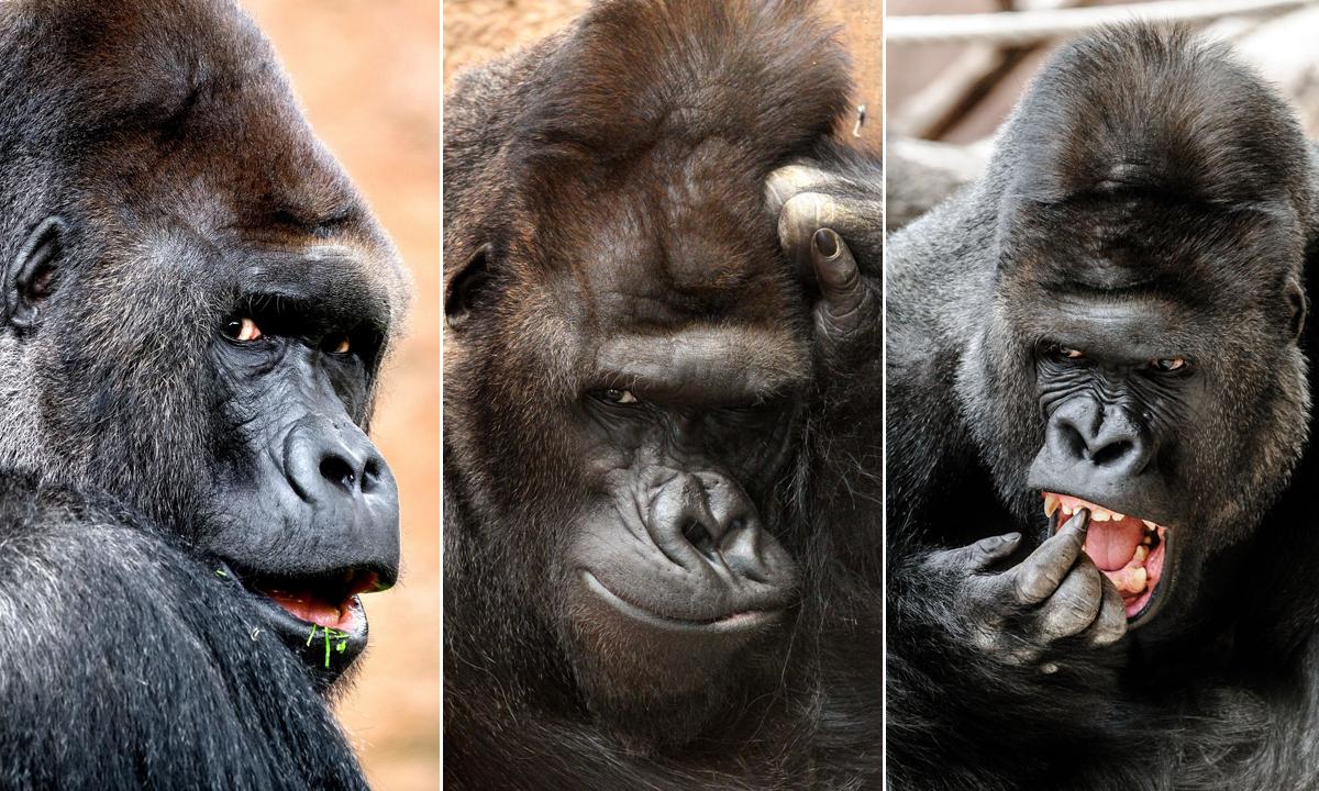 gorila-richard