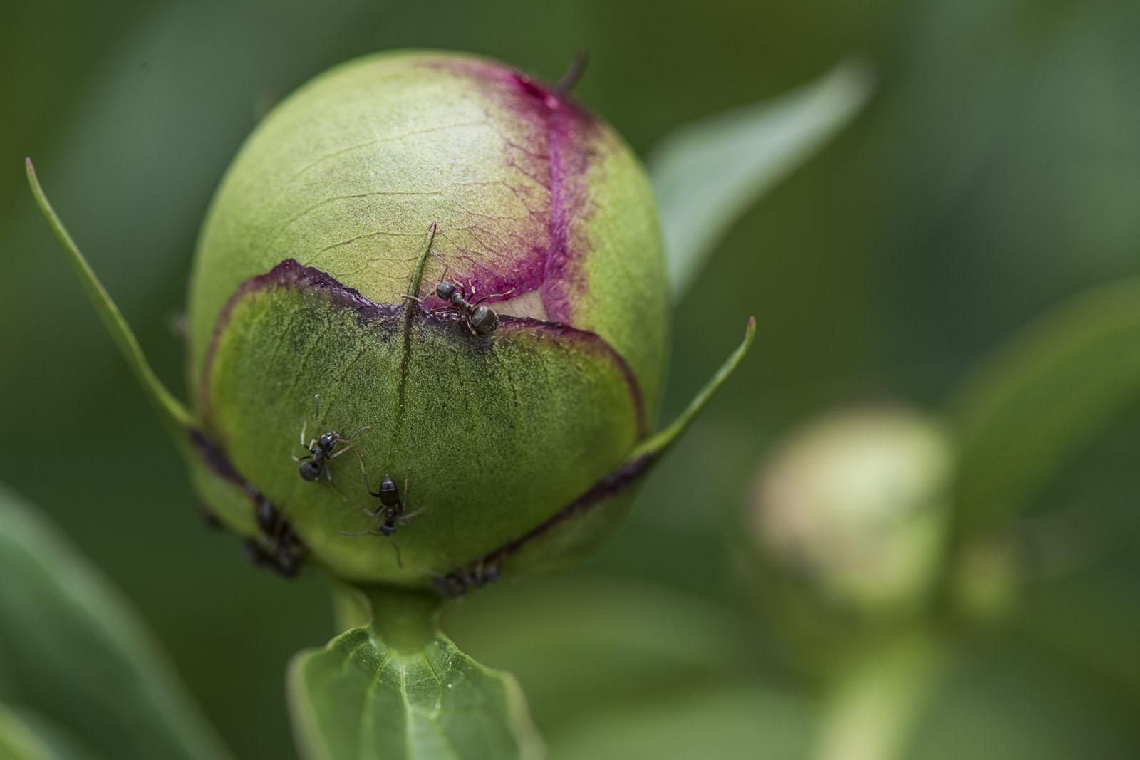 Rakitje, 010518. Proljetno livadno cvijece. Na fotografiji: pupoljak bozura Foto: Ivana Nobilo / CROPIX