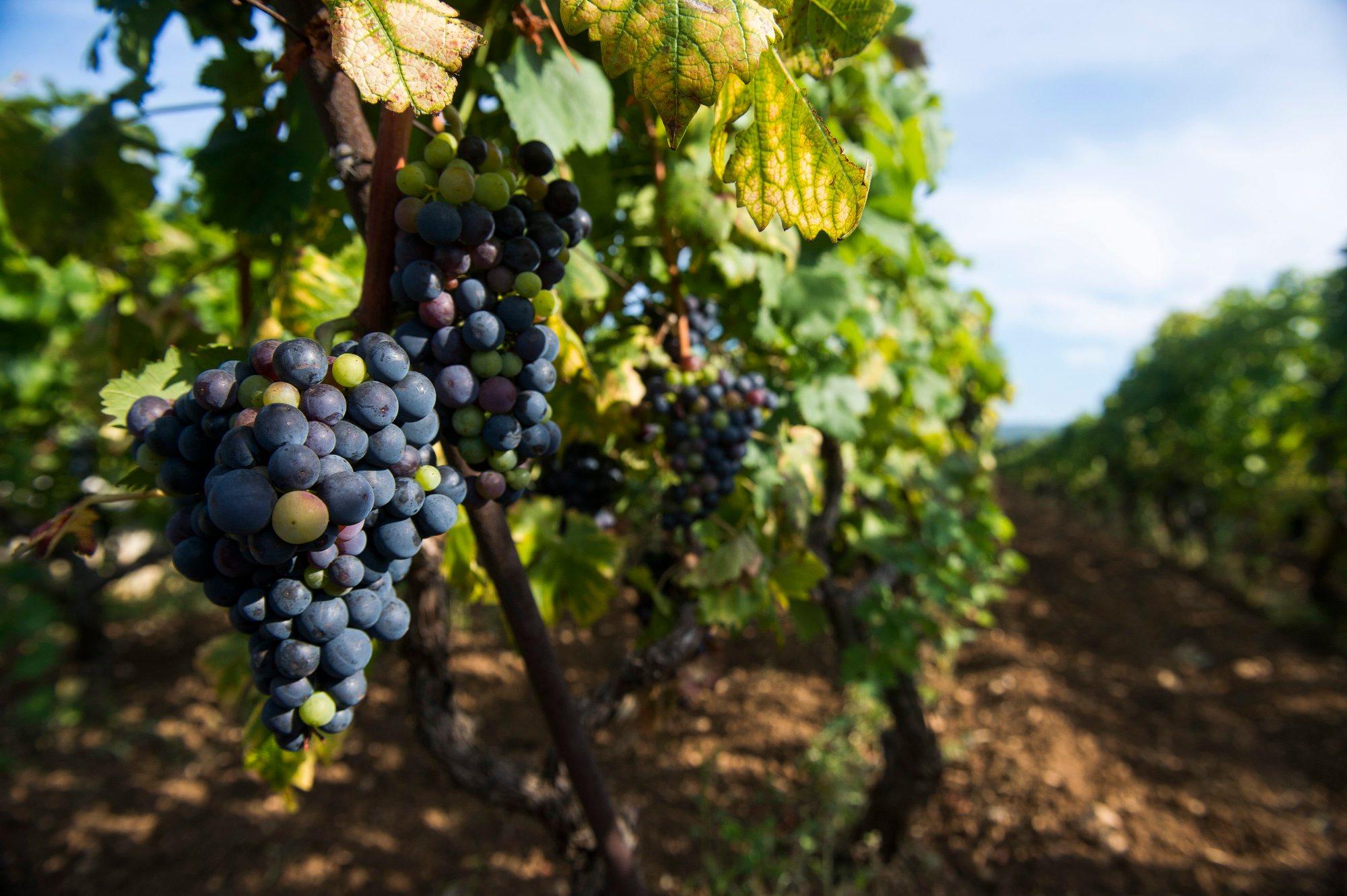 Kastel Stafilic, 120814. Neven Vuina u vinogradu Crljenka u Kastel Stafilicu.  Na fotografiji: vinograd Babice u Kastel Stafilicu. Foto: Tom Dubravec /  CROPIX