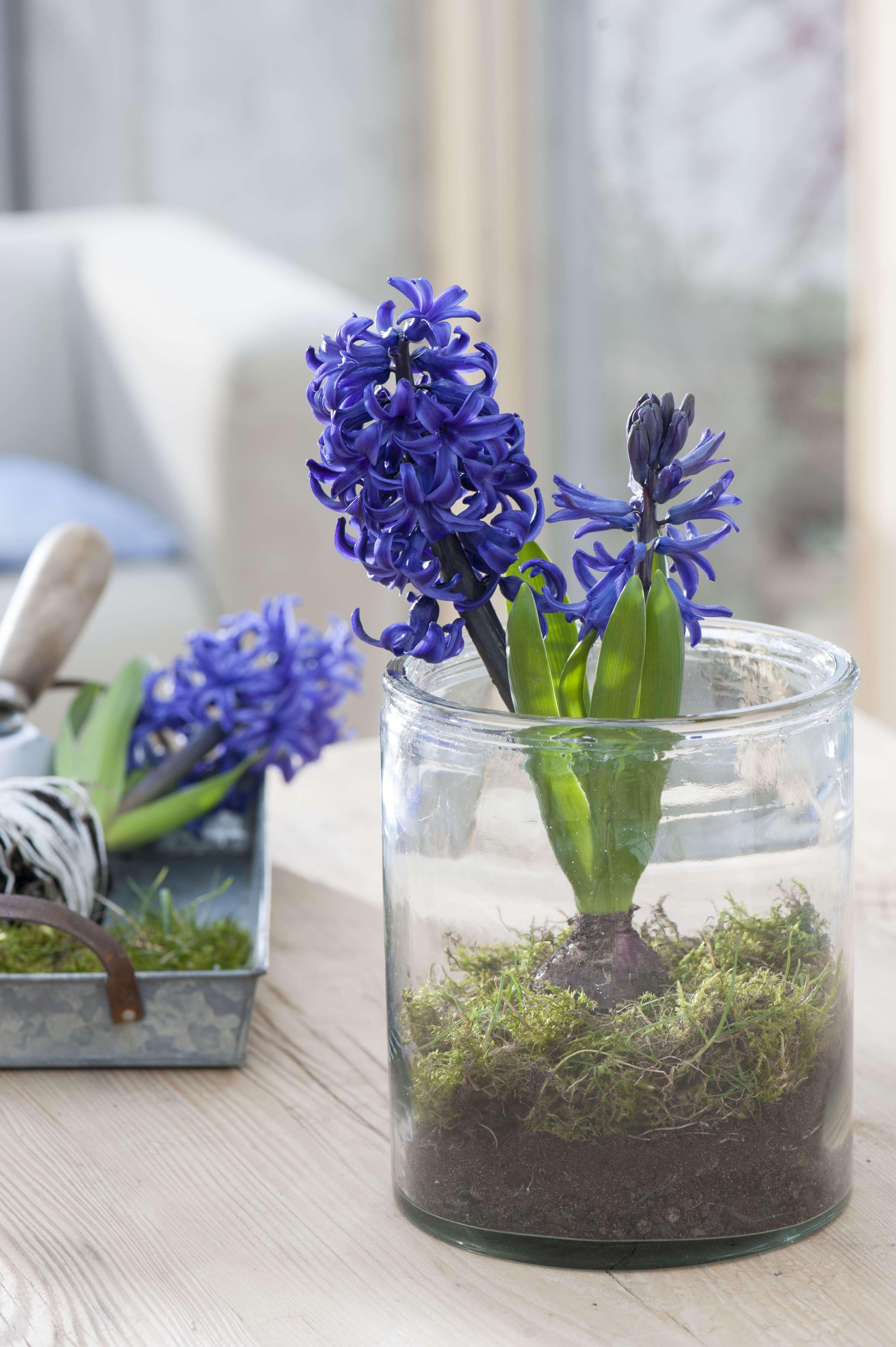 Hyacinthus 'Pacific Ocean' (Hyazinthe) mit Moos in Glas gesetzt