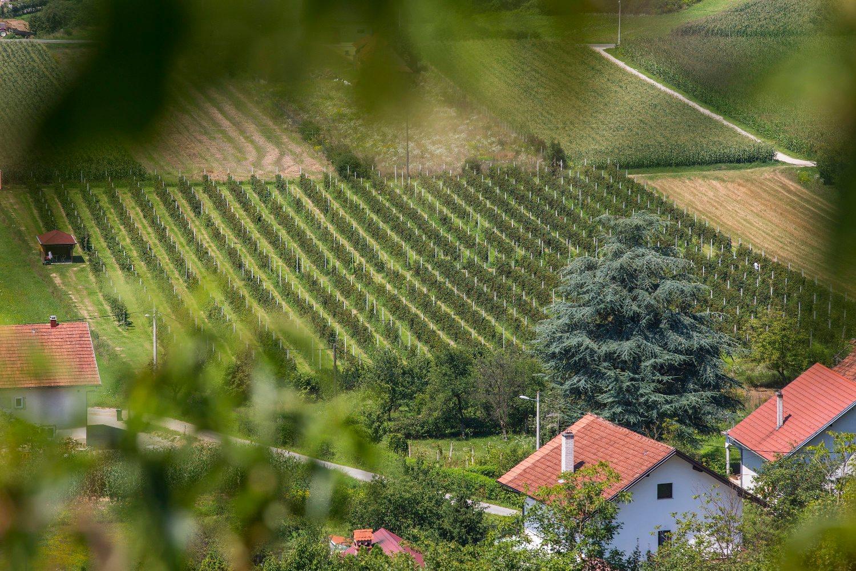 Klanjec, 190718. U selu Novi Dvori Klanjecki vec dugi niz godina obitelj Jambresic ima eko uzgoj kupina; uz prodaju voca bave se i preradom proizvoda od kupina. Najpoznatiji proizvod je kupinovo vino; uz to imaju djem i sirup od kupina. Poslove vodi sin Igor Jambresic, uz pomoc roditelja Dragice i Ivana. Foto: Berislava Picek/ CROPIX