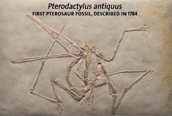 Prvi otkriveni fosil pterosaura, koji je ovako skiciran 1784.