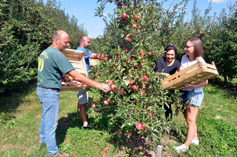 Sisak, Brezane Lekenicke, 100918. Vocar Sven Dorotic prodaje jabuke tako sto kupci sami naberu i plate 1 do 3 kune po kilogramu jabuka. Foto: Bruno Konjevic / CROPIX