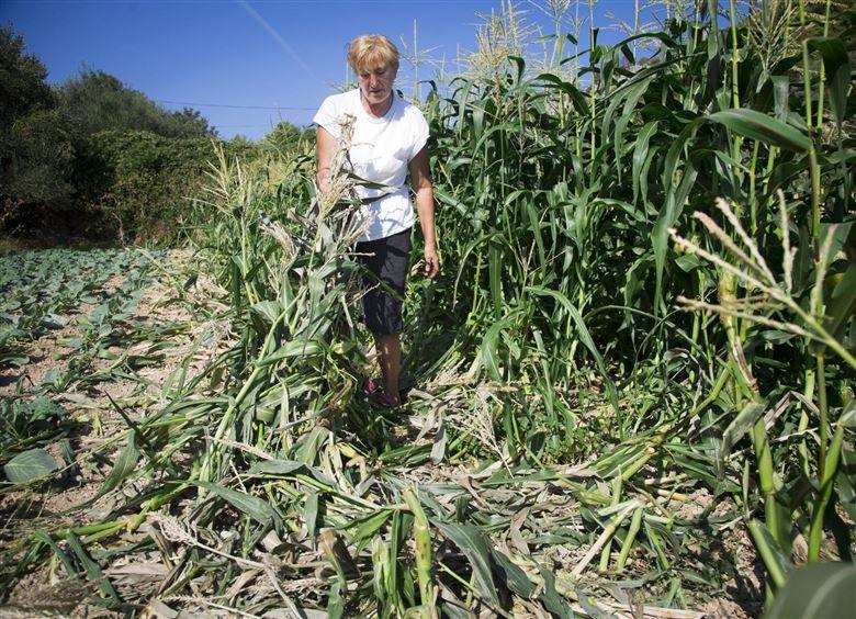 Ankica Hedl u uništenom polju kukuruza