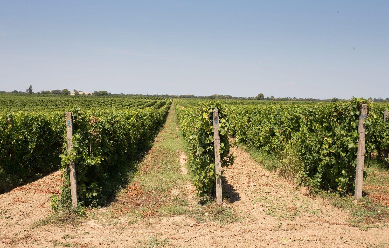 vinogradi5-210817 (2)