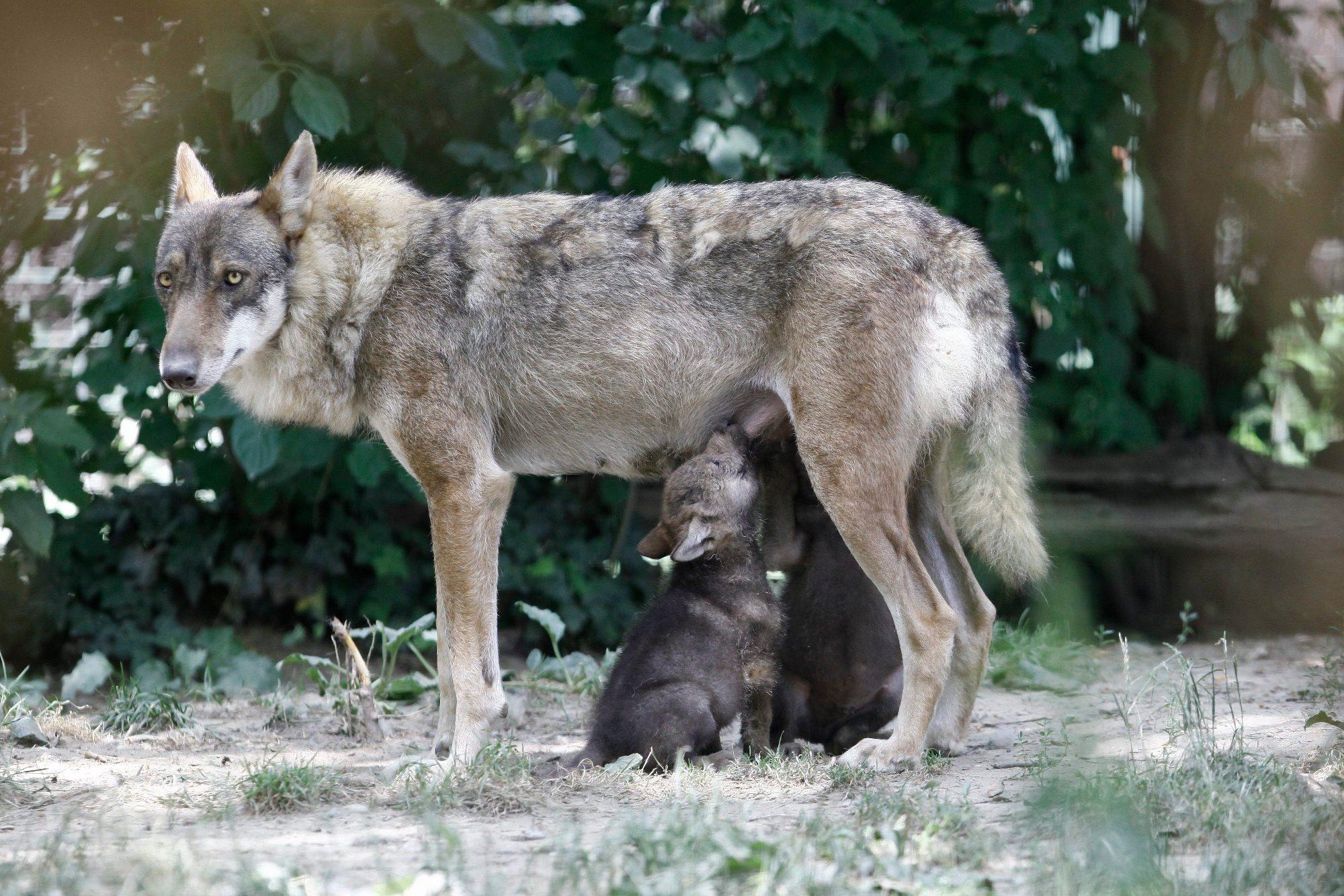zoo_vucici14-130618