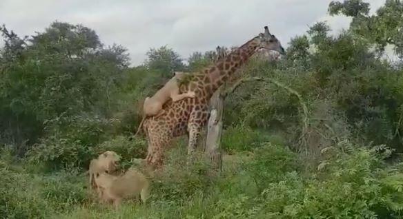 žirafa i lav 2