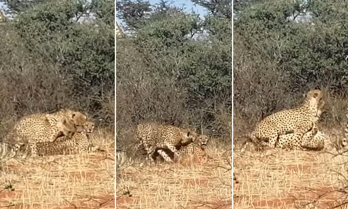 gepardi-trojac