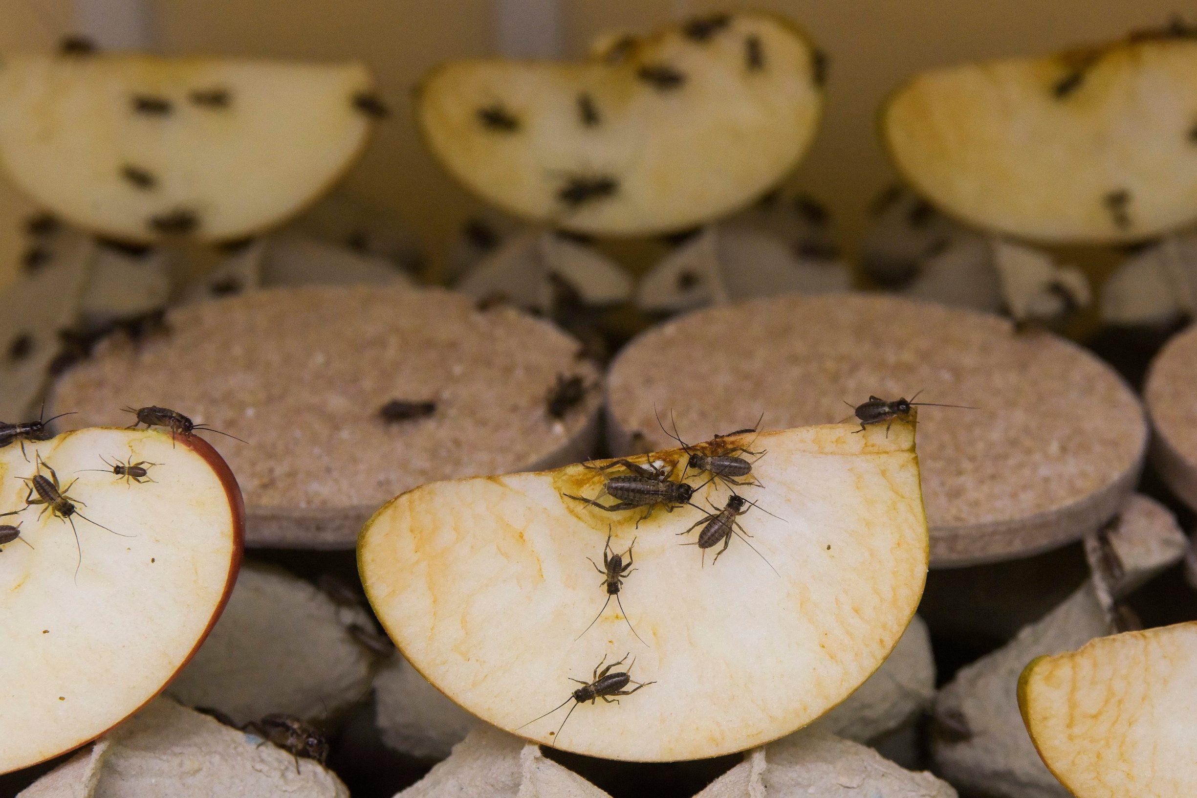 Zagreb, 181019. Heinzelova ulica. Na Veterinarskom fakultetu uzgajaju se Cvrcci i larve muha. Na fotografiji: cvrcci. Foto: Darko Tomas / CROPIX