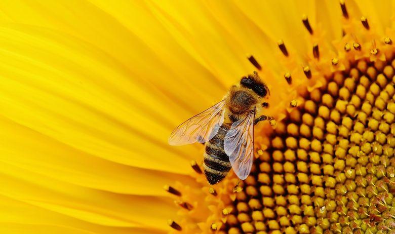 sunflower-1643794_1920