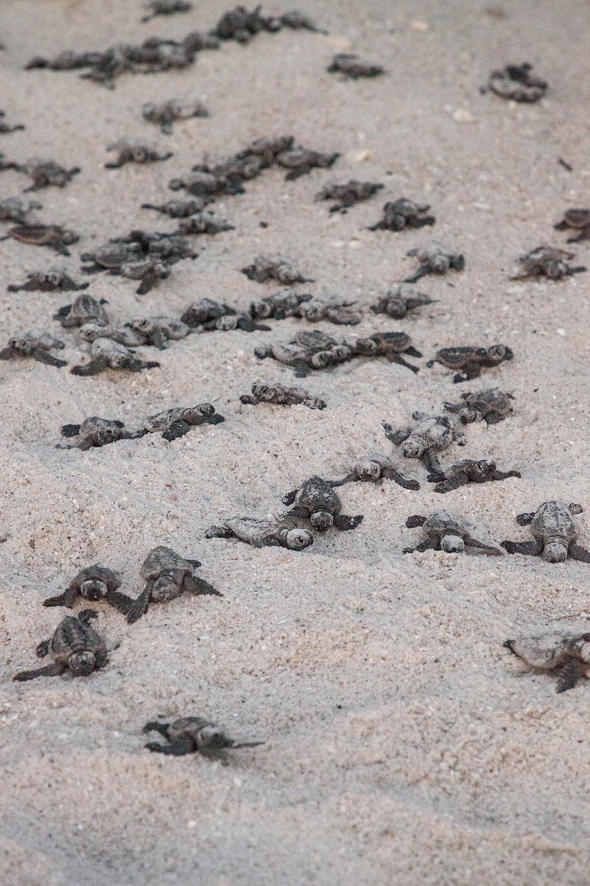 glavate želve