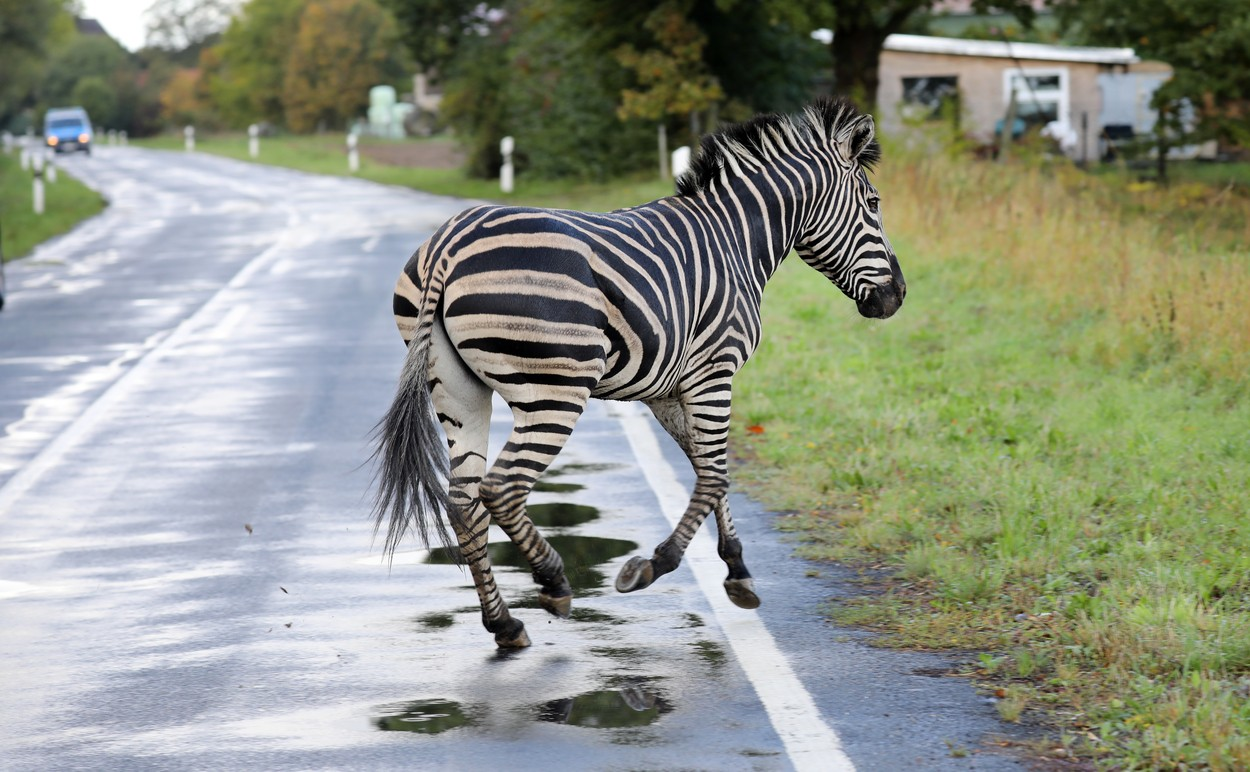 A zebra runs across a road on October 2, 2019 in the village of Thelkow, north-eastern Germany, after the animal had broken out of a circus with a fellow animal nearby, and had caused an accident on the A20 motorway in the area. The other zebra had already been captured., Image: 474775028, License: Rights-managed, Restrictions: Germany OUT, Model Release: no, Credit line: Bernd WUESTNECK / AFP / Profimedia