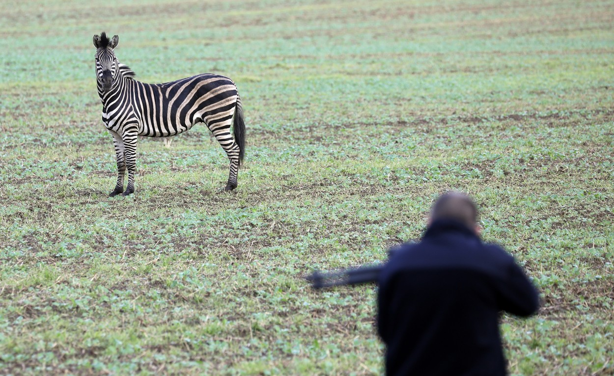 A zebra stands on a meadow as a man with a tranquilizer gun tries to approach it on October 2, 2019 near the village of Thelkow, north-eastern Germany, after the animal had broken out of a circus with a fellow animal nearby, and had caused an accident on the A20 motorway in the area. The other zebra had already been captured., Image: 474778544, License: Rights-managed, Restrictions: Germany OUT, Model Release: no, Credit line: Bernd Wüstneck / AFP / Profimedia